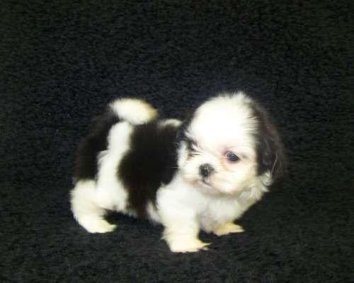 Shih Tzu Puppy For Sale In Tucson Az Adn 39818 On Puppyfinder Com Gender Female Age 10 Weeks Old Shih Tzu Puppy Shih Tzu Puppies For Sale
