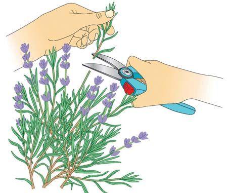 Lavendel Durch Stecklinge Vermehren Stecklinge Schone Garten Und