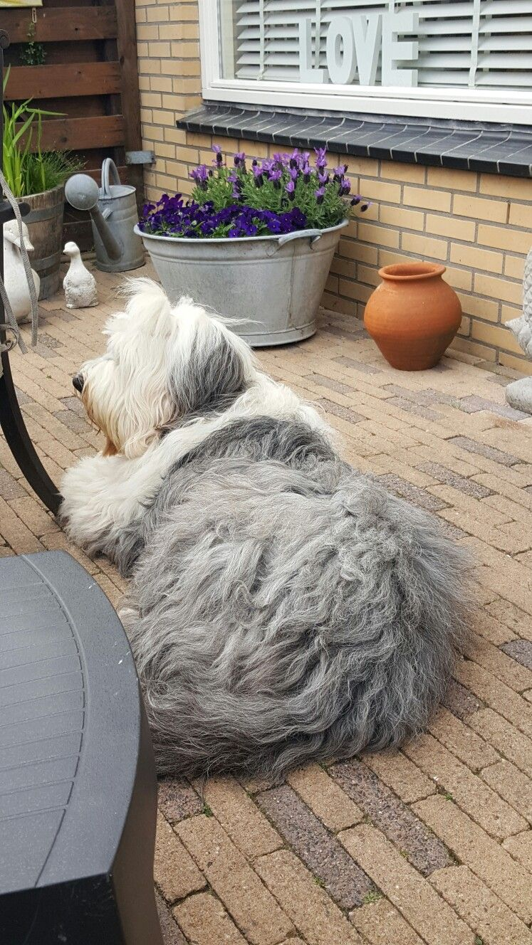 Pin by Emily Gleasure on old english sheepdogs English