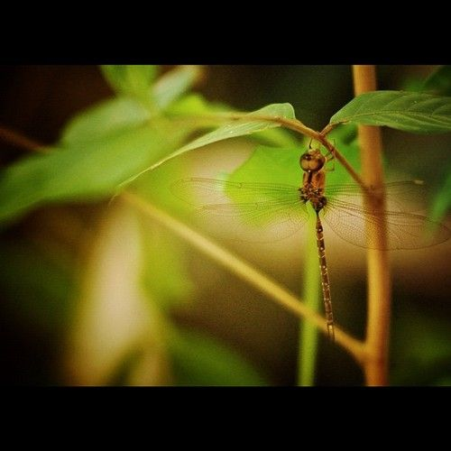 #dragonfly just hanging