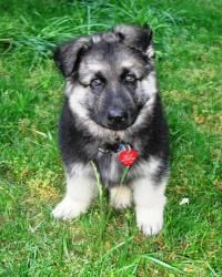 Bruno Is An Adoptable German Shepherd Dog Dog In Enfield Ct To