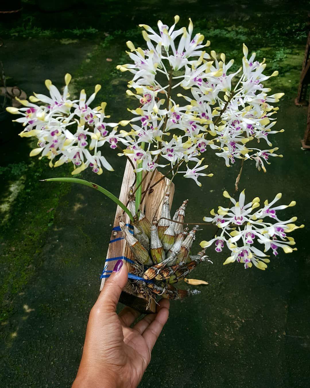 Den Canaliculatum Anggrek Dendrobium Orchiddendrobium