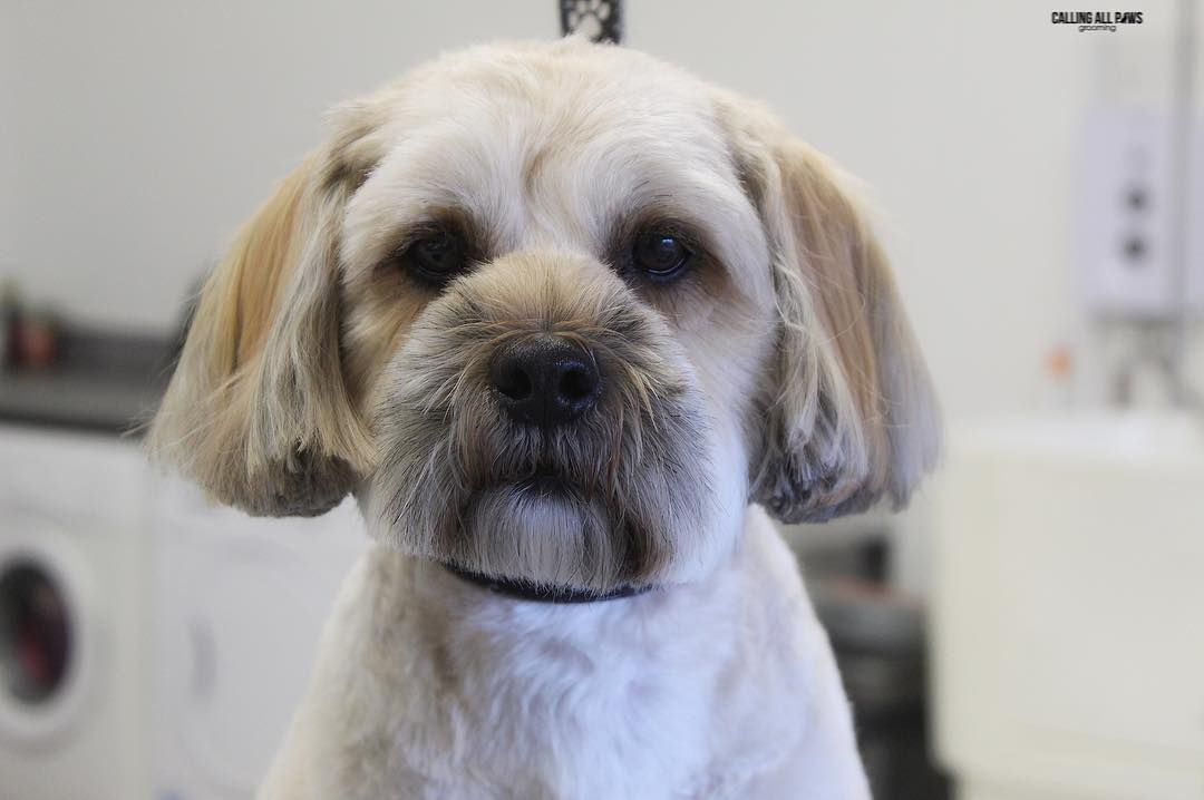 Watch The Best Youtube Videos Online Alfie The Shihtzu X Poodle
