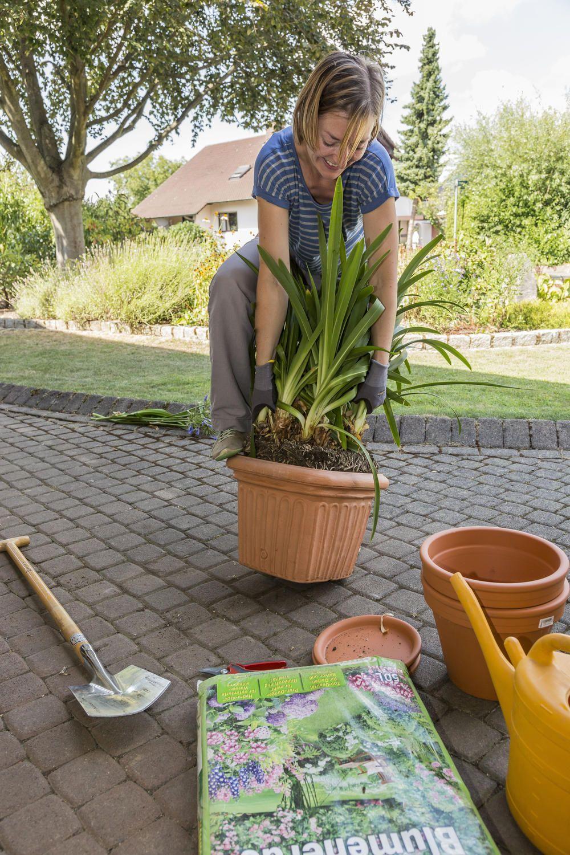 Schmucklilien Teilen Schmucklilie Lilien Kubelpflanzen