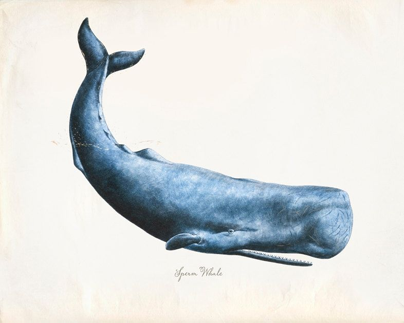 Sperm whale illustrations
