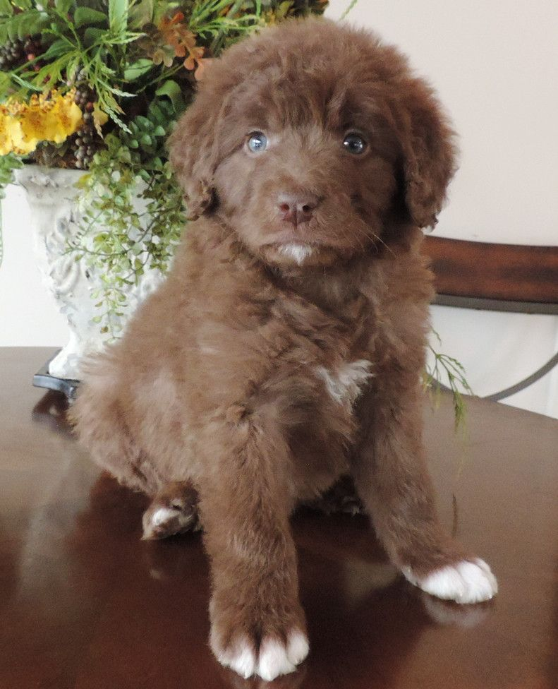 Bordoodle Puppies For Sale Bordoodle Fur Babies Puppies