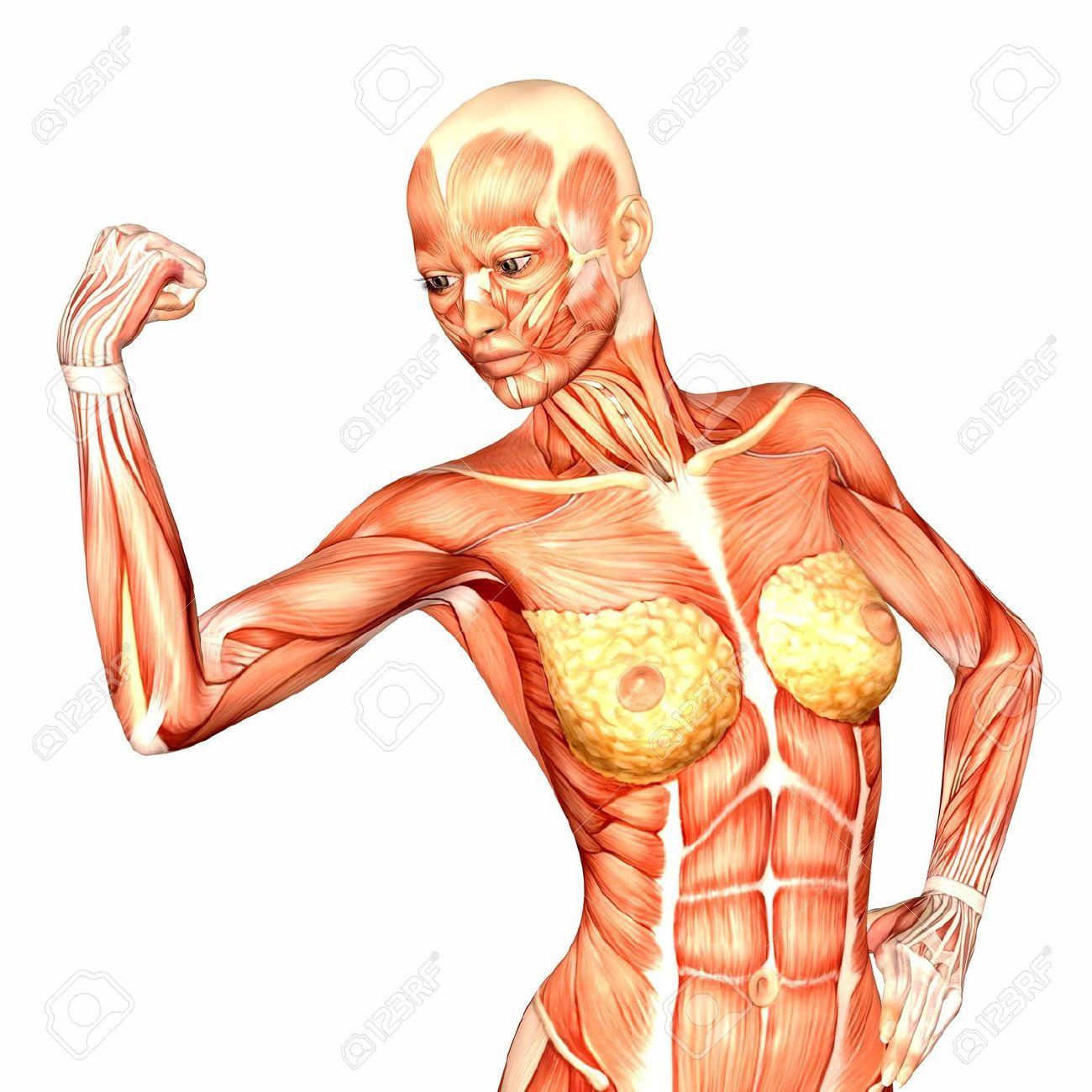 Ilustración de la anatomía de la mujer parte superior del cuerpo ...
