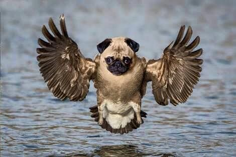 Pug Eagle Photoshopped Animals Animal Mashups Bizarre Animals
