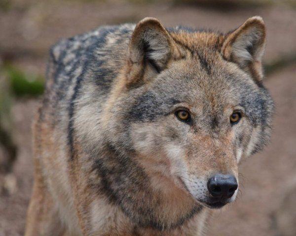 Wolf stammt aus Rudel im Kreis Cuxhaven   Barntrup - LZ.de
