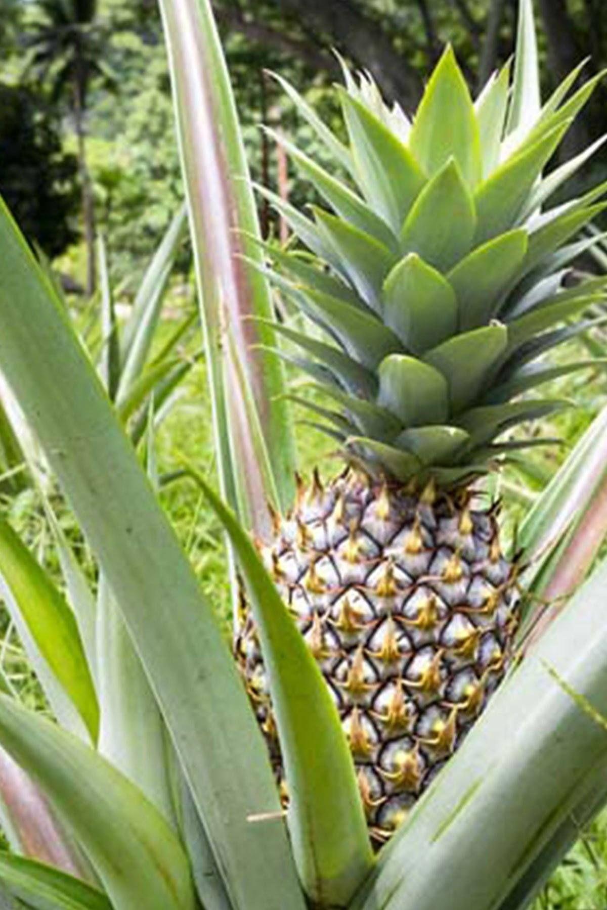 Pineapple Ananas Comosus White Jade Starter Plant Liner Plug