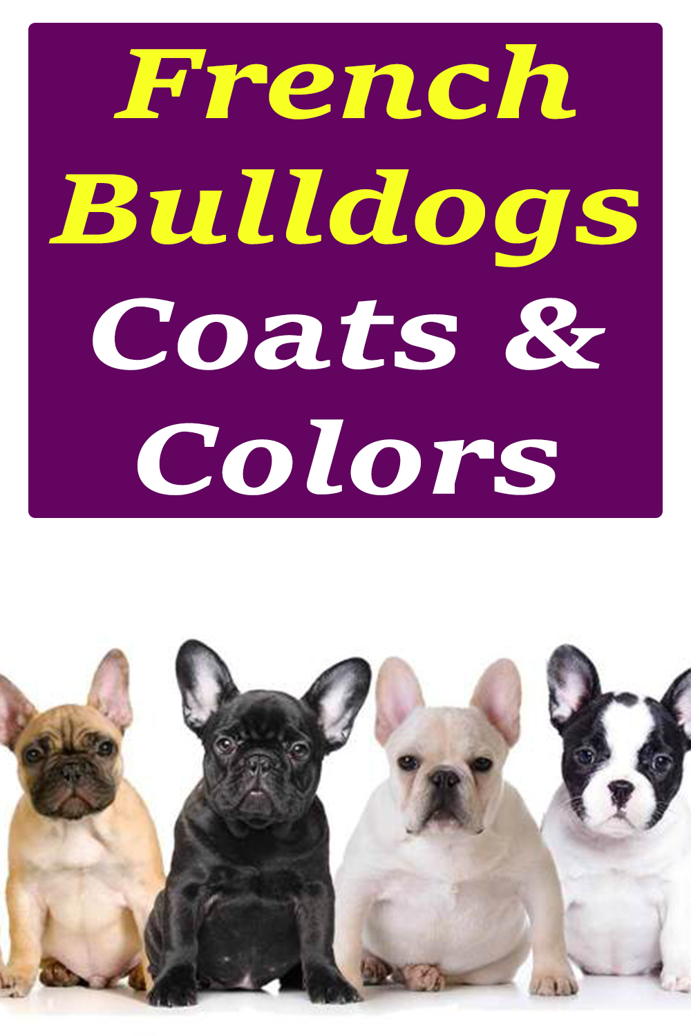 The Different Coats And Colors Of French Bulldogs New Puppy Bulldog