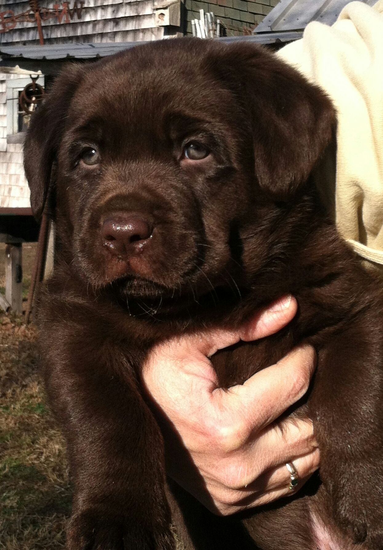 Pin By Kayla Evett On Our Labradors Lab Puppies Labrador Puppy Labrador