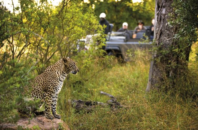 A leopard on a safari game drive in Lion Sands Game Reserve, South Africa.