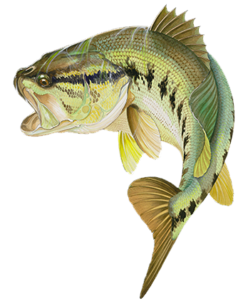 Bass painting google zoeken modern fish art for Bass fish images
