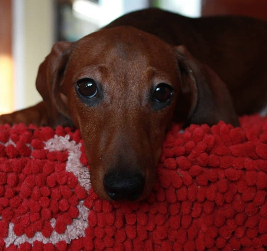 160 Best Dachshund Dog Names Dachshund dog, Dog names