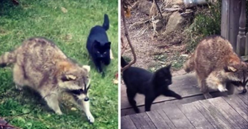 Blind raccoon comes to house begging for some food, but