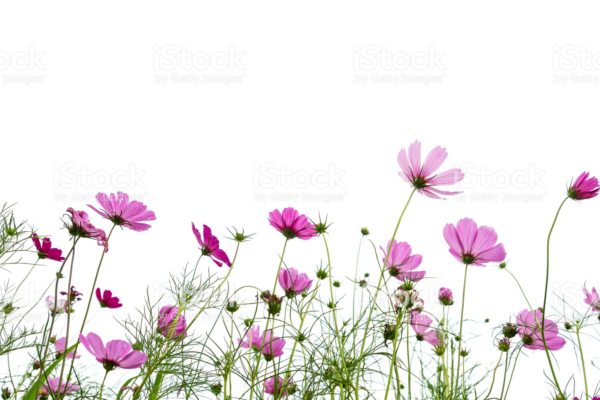 Cosmos Flower Blooming Against White Background Royalty Free Stock Photo