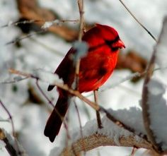 Cardinal on bare branch surrounded by snow