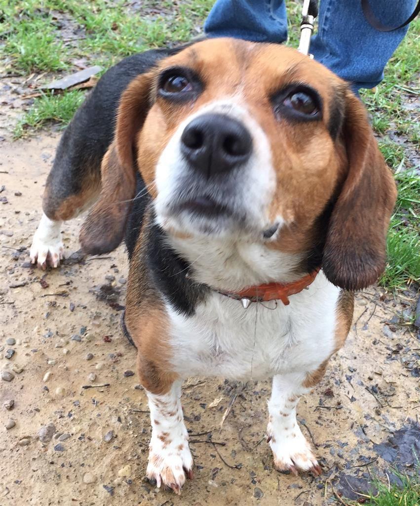 Found Dog Beagle Cincinnati, OH, United States on