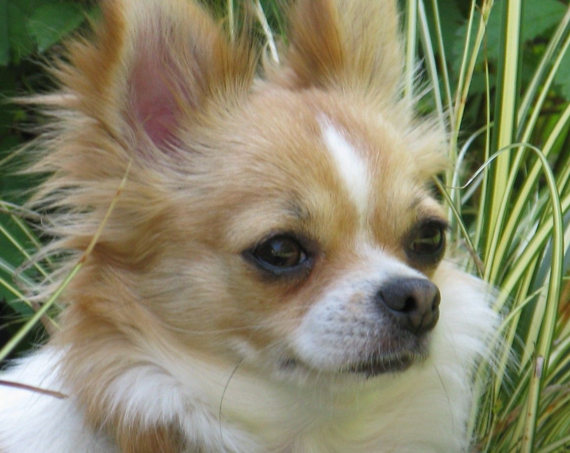 AKC Chihuahua Puppies For Sale, Portland