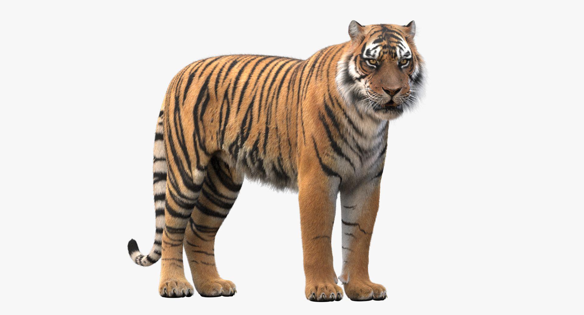 Tiger Rigged Fur 3d Model Tiger Fur Fur Tiger