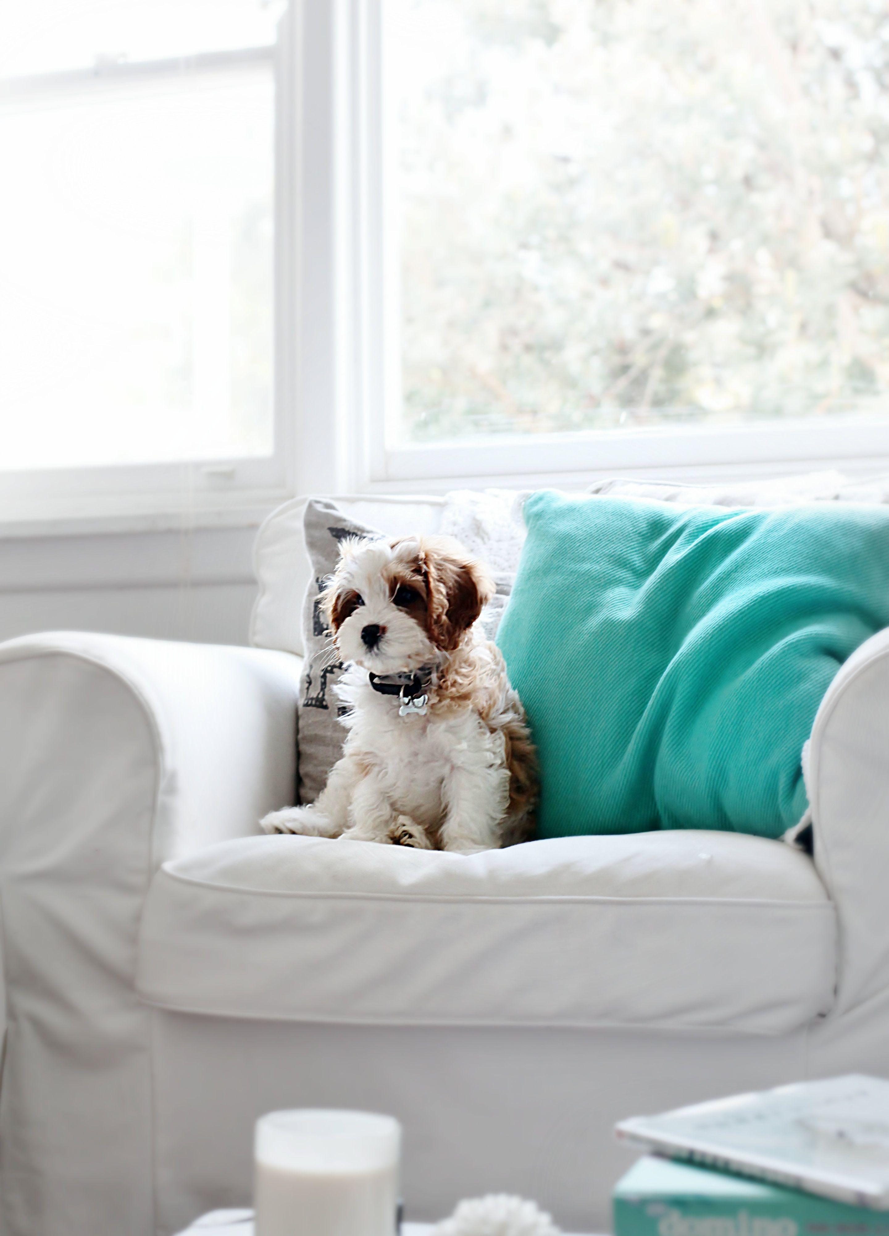 Cavoodle puppy doodle dog and poodle mix