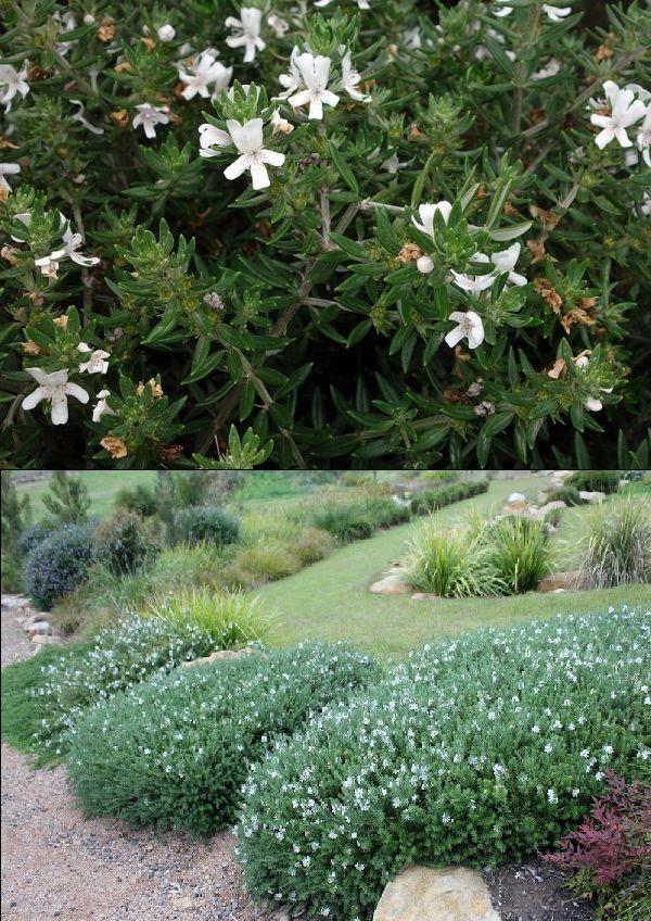 Westringia Romarin D Australie Lamiaceae Plantes