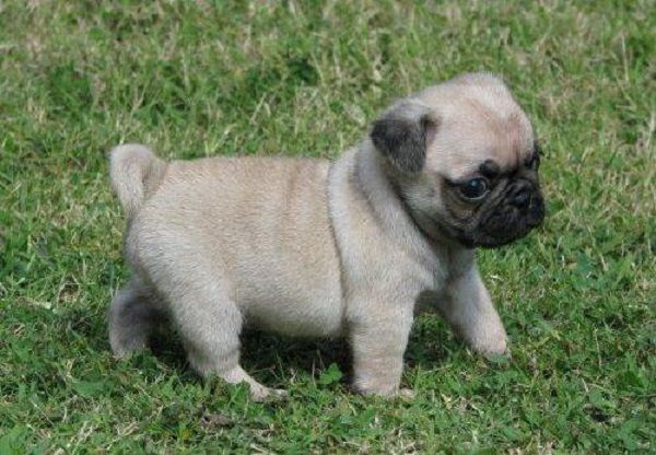 Pug Puppies For Sale London Zoe Fans Blog Cute Pug Puppies