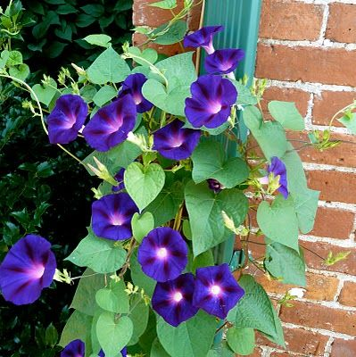 Clay And Limestone Big Ideas From Small Gardens Buffa10 Morning Glory Flowers Beautiful Flowers Small Gardens