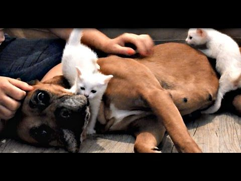 Formerly Abused Boxer Gets Rescued Then Helps Save Mama Cat and Her 4 Kittens! (VIDEO) | One Green Planet