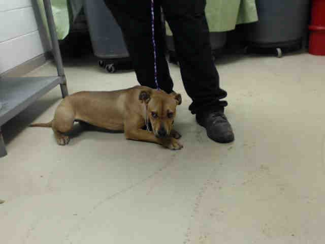 03 04 15 Houston Time Is Almost Up This Dog Id A426958 I Am A Female Brown Labrador Retriever Mix My Age Is Unknown I Animal Shelter Dog Id Find Pets