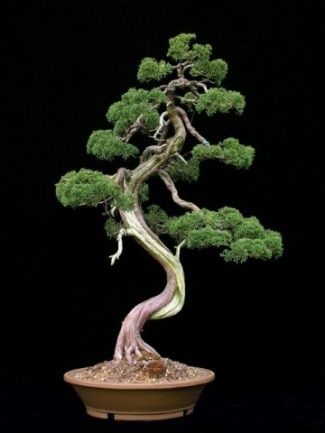 "Curved trunk bonsai are a primary inspiration for the character of Misho in our book. This one has very formal ""pads"" of needles. Sign up at www.dldiehl.com for release date, discounts, and giveaway drawings."