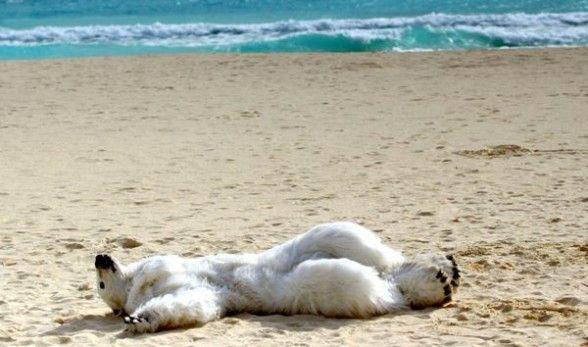 bear on the beach | Bear, Polar bear, Beach