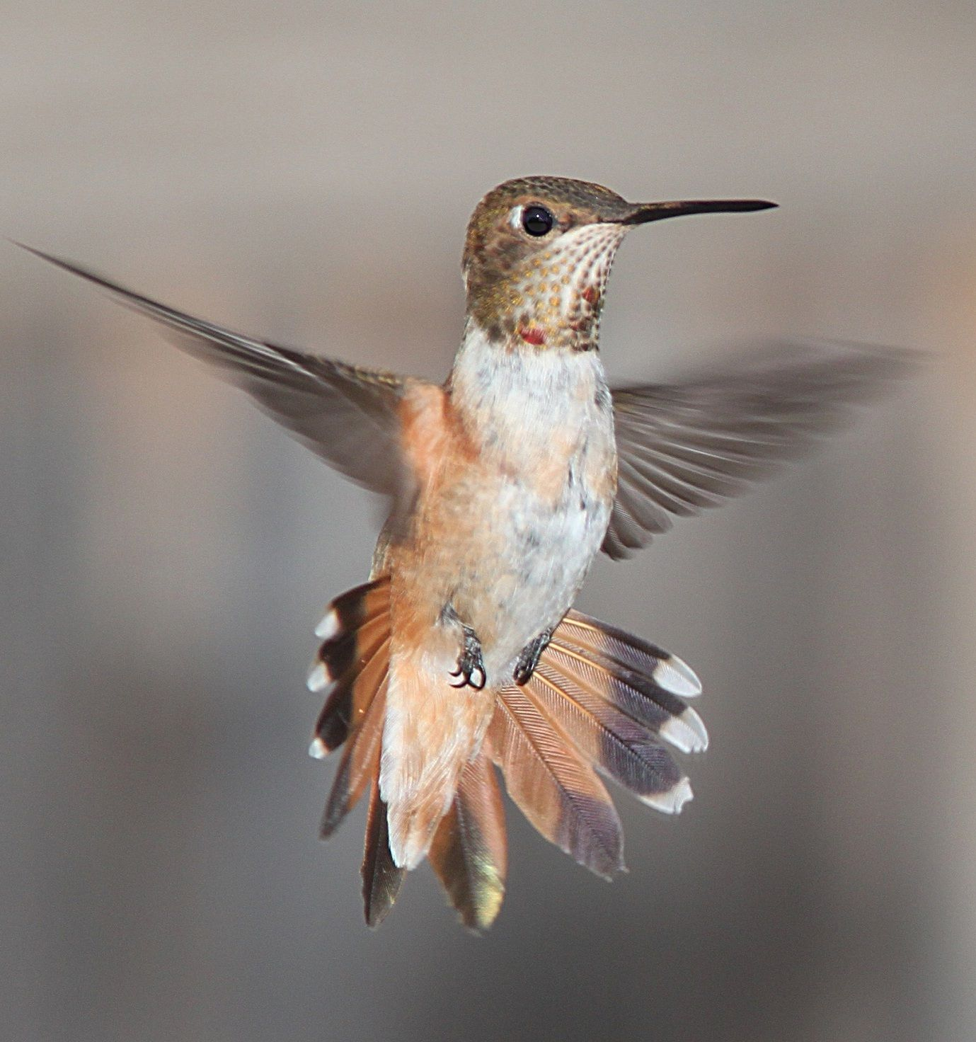 6 Amazing facts about migrating birds | Colibri, Ave y Animales