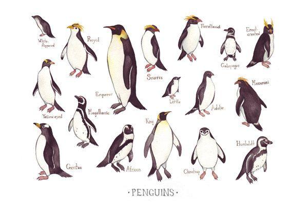 Pin By Antanas Bukauskas On Penguins Penguin Drawing Penguins Nature Wall Art