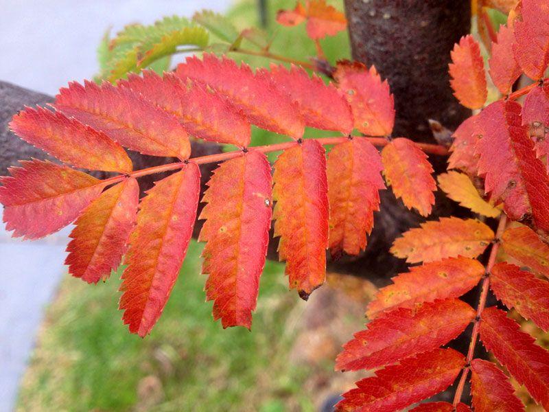 Rowan Autumn colour. 2014.