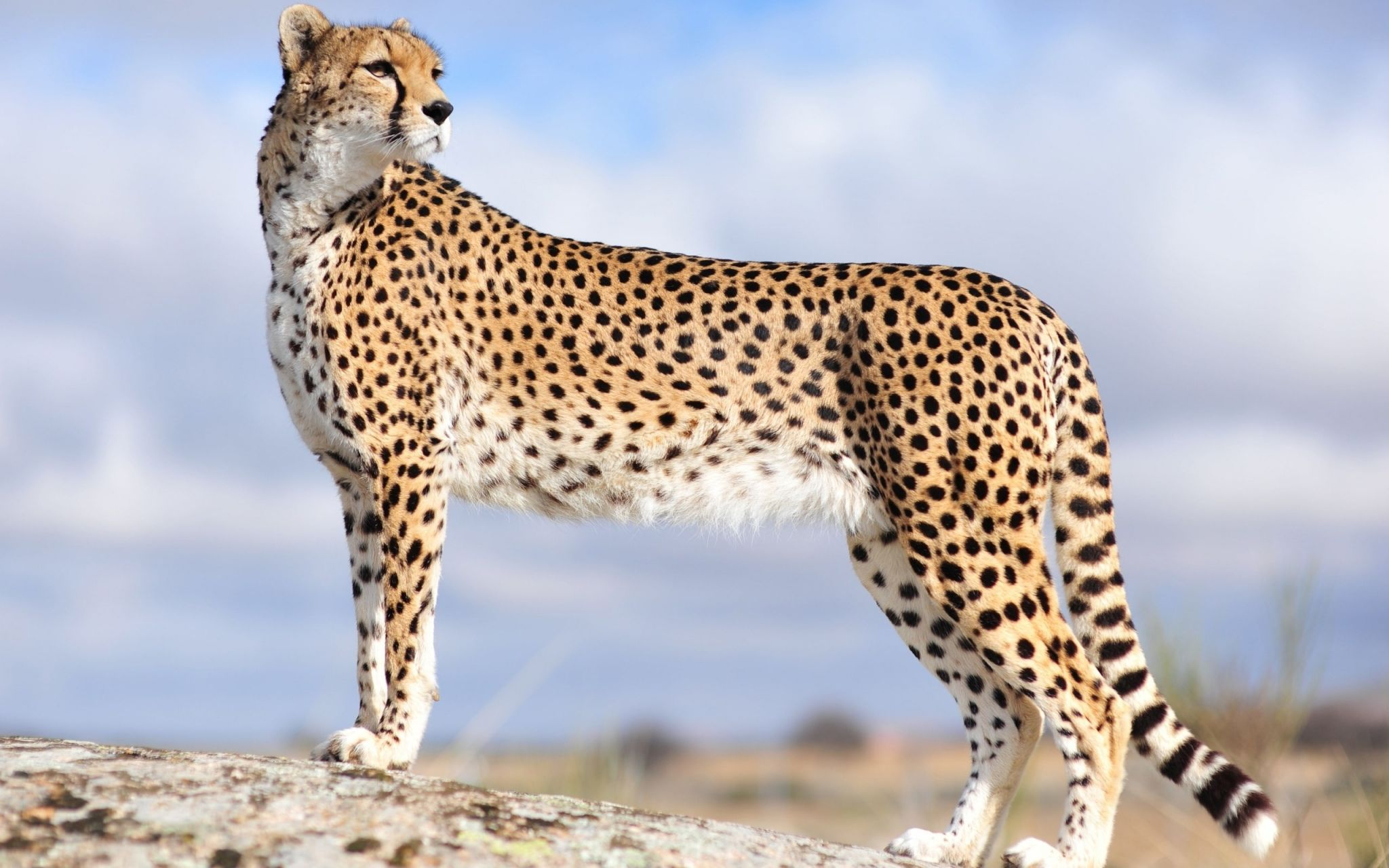 Cheetah wallpaper desktop sharovarka pinterest cheetah cheetah wallpaper desktop voltagebd Image collections