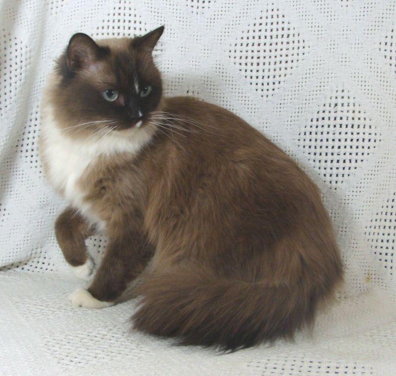 Pin By Jill Martin On Ragdoll Sweeties Cat Dark Kittens Gorgeous Cats