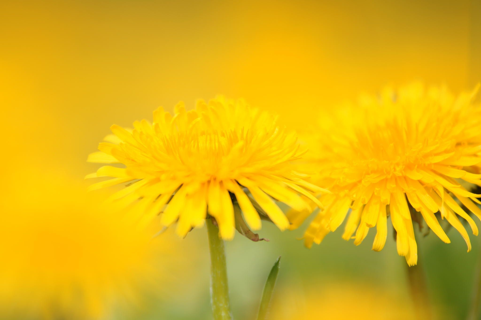 Photograph Dandelion by Tanja Riedel on 500px