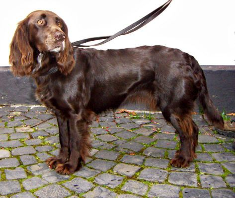 Deutscher Wachtelhund Related Spaniel Breeds Dog Breed Info Dog Breeds
