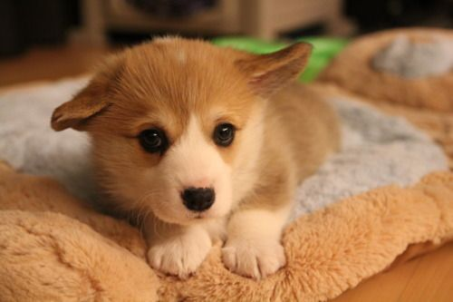 Cute Corgi Puppy Making Funny Happy Face With Wide Smile And
