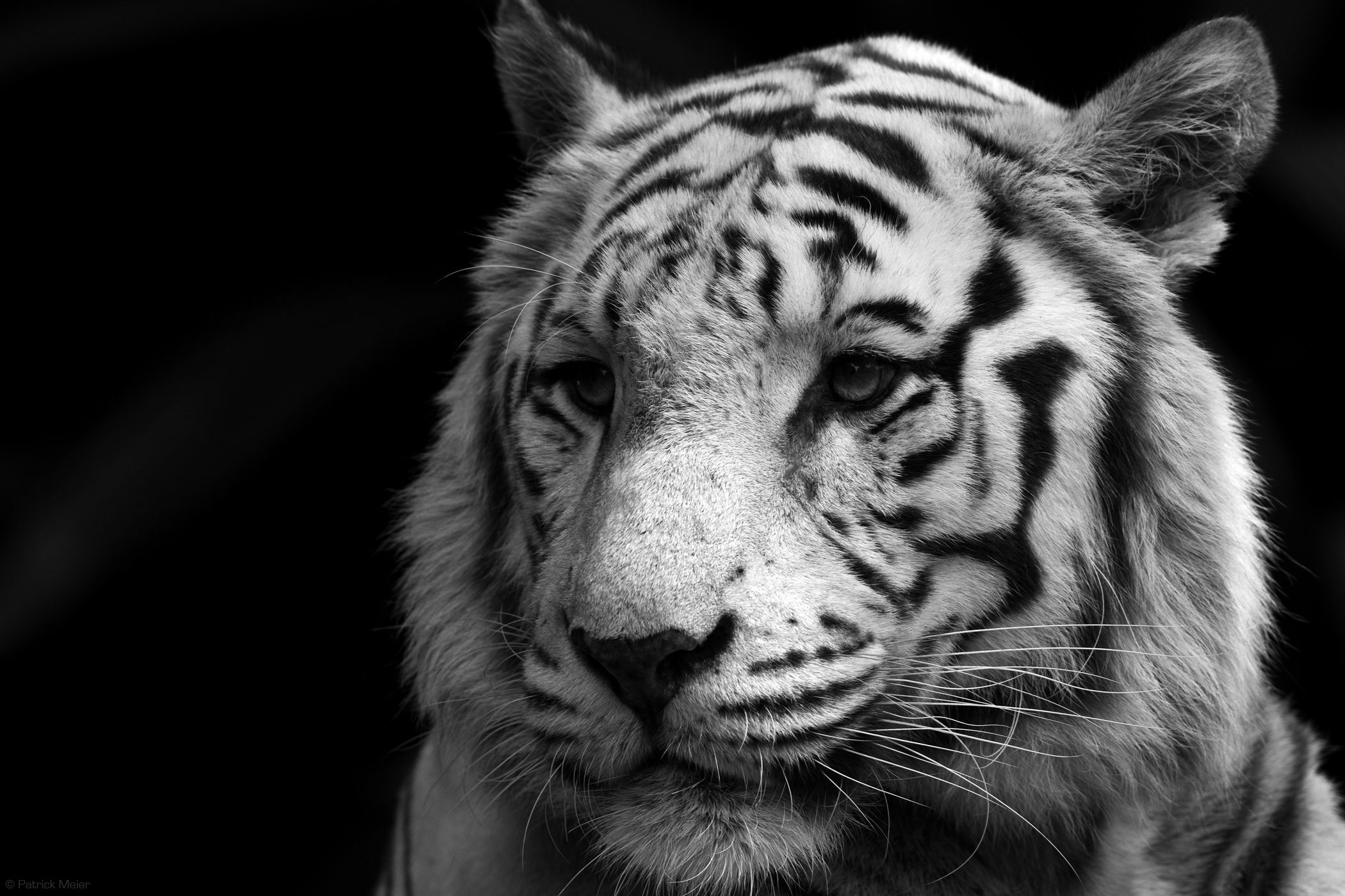 Image detail for Weisser Bengal Tiger, Singapur Zoo