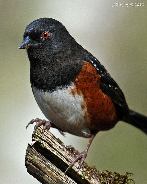 Spotted Towhee. Order: Passeriformes Family: Emberizidae Genus: Pipilo Species: P. maculatus Binomial name Pipilo maculatus Swainson, 1827. The spotted towhee (Pipilo maculatus) is a large New World sparrow. The taxonomy of the towhees has been debated in recent decades, and formerly this bird and the eastern towhee were considered a single species, the rufous-sided towhee. An archaic name for the spotted towhee is the Oregon towhee (Pipilo maculatus oregonus).