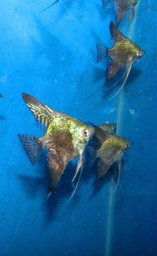 Green Leopard Angelfish Pterophyllum Scalare Angel Fish Angel Fish Tank Fresh Water Fish Tank