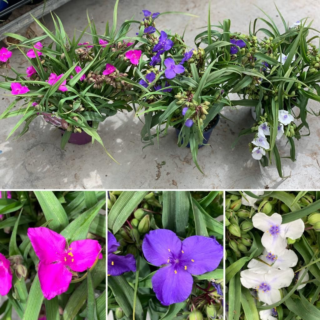 Perenne, vigorosa e a fioritura persistente... e la pianta che cercavi... Tradescantia andersoniana .  🇬🇧 Perennial, vigorous and with flowering persistent  ... is the plant that you are looking for ... Tradescantia andersoniana . #tradescantia #tradescantiaandersoniana #flors #flores #flowers #ig_flors #shin_nature #shin_flors #shin_flores #shin_flowers #ig_flores #ig_nature #ig_flowers #naturaleza #nature #flower_igers #natura #flowerstagram #tradescantiatricolor #gagliolofactory...
