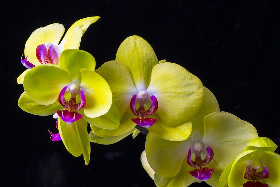 Yellow Orchid Flower Pictures Yellow Orchid Orchids Orchid Flower