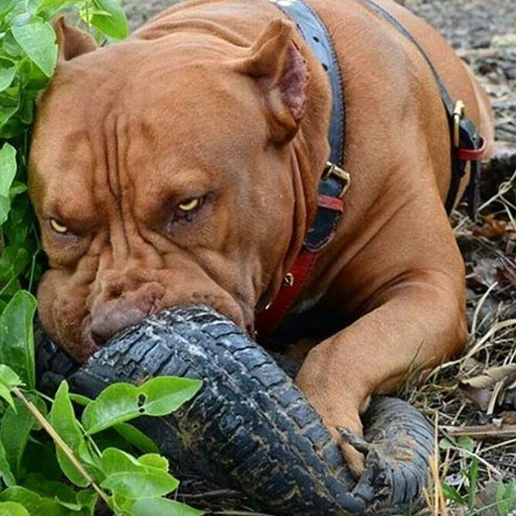 That Tire Stands No Chance Bully Breeds Dogs Dogs Scary Dogs