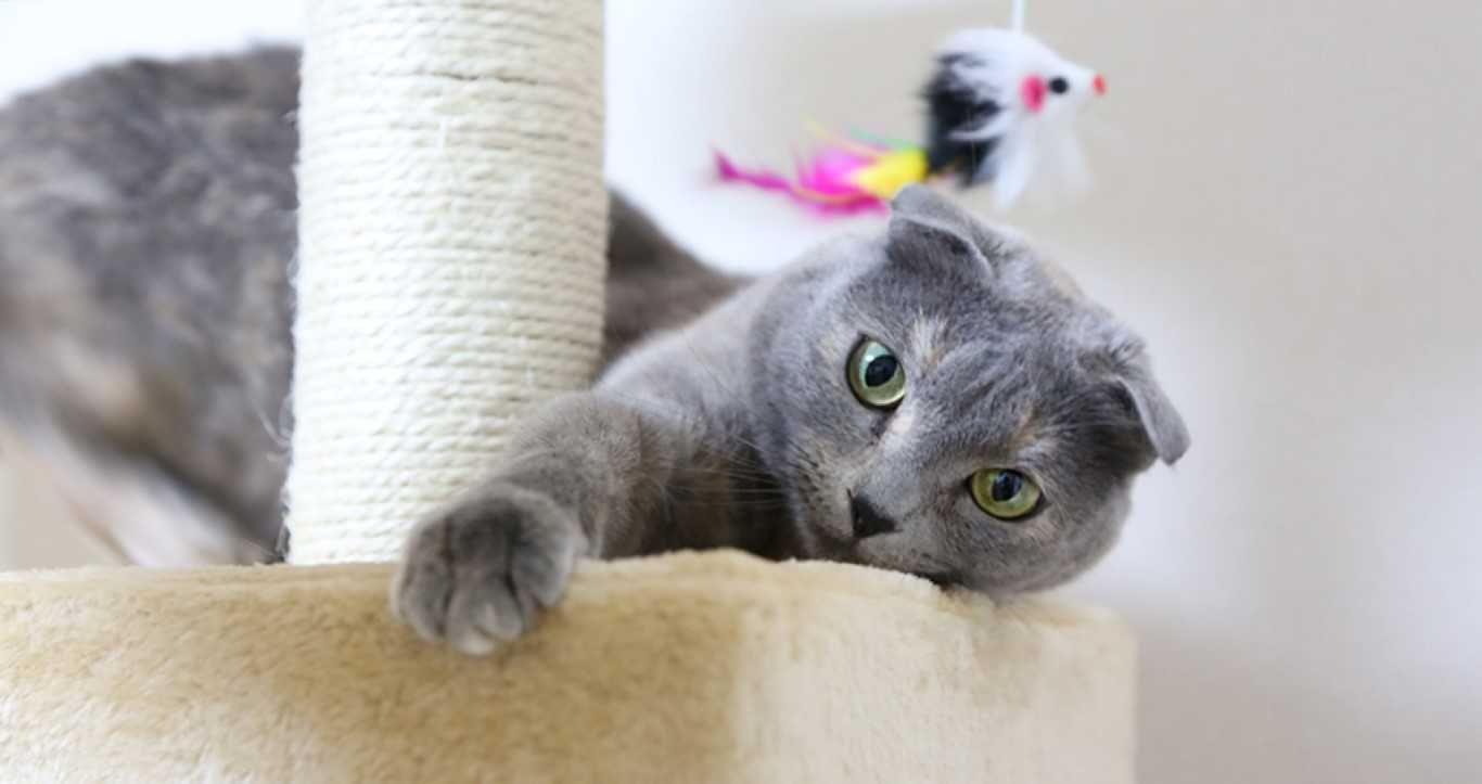 Pin By Sandy Boxerr On Home In 2020 Cat Scottish Fold Cat Breeds Grey Cat Names