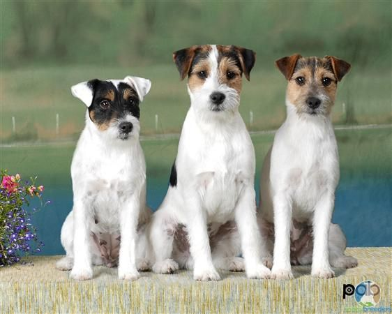 "The Parson Russell Terrier: Formerly known as the Jack Russell, these dogs are exceptionally active, in a very bouncy way.  These dogs do ""boing"" like nobody's business, pretty much 24/7."