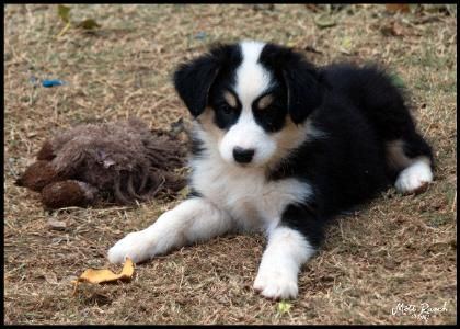 Black Tri Male Australian Shepherd Puppy Shepherd Puppies